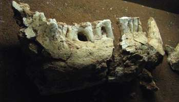 zygomaturus lower jaw