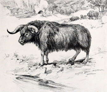 brush oxen