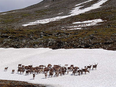 Reindeer on snow